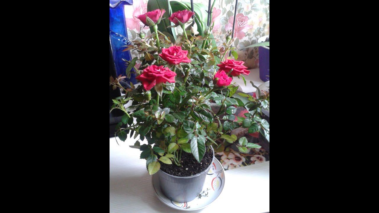 как поливать розу в горшке зимой